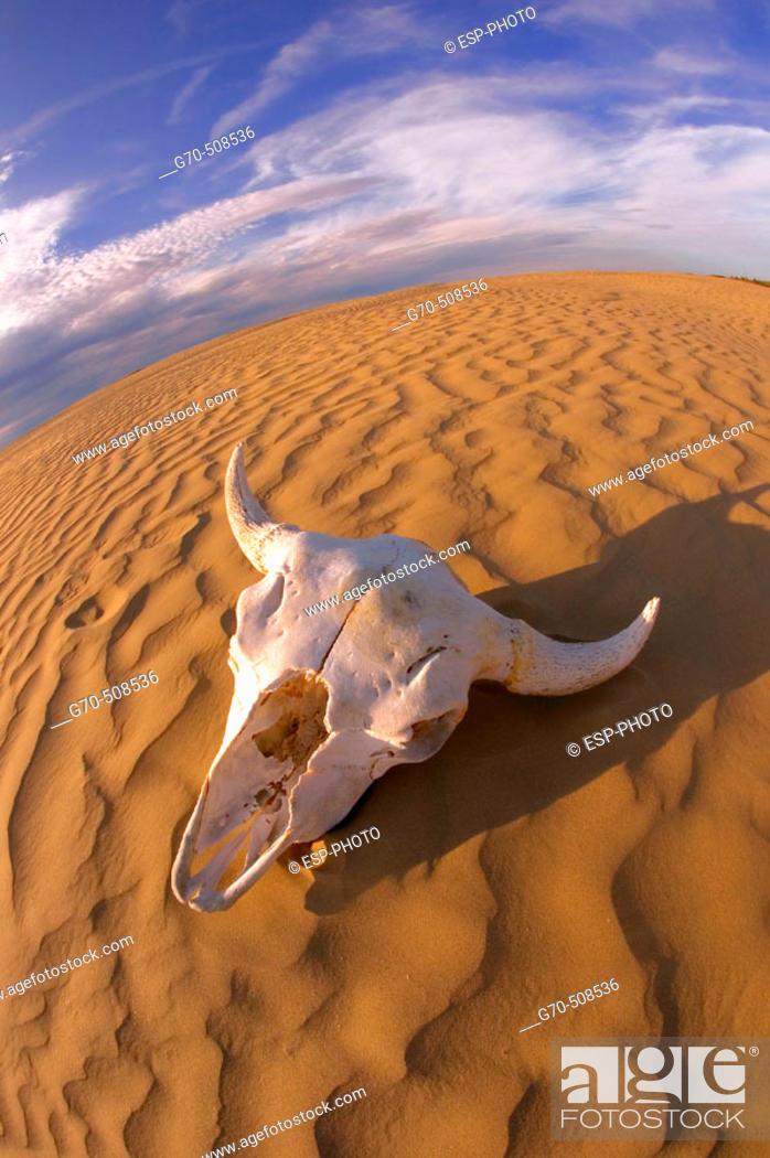 Stock Photo: Buffalo skull in desert.