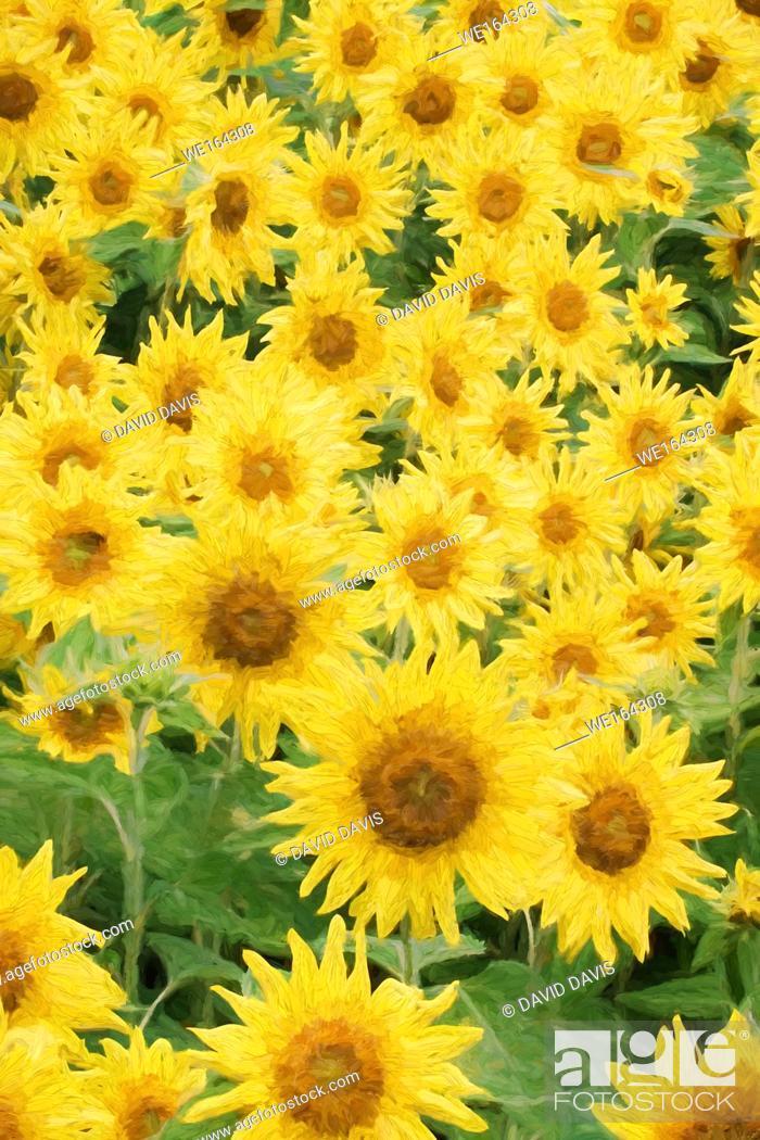 Stock Photo: Impressionist Art of a beautiful field of sunflowers.