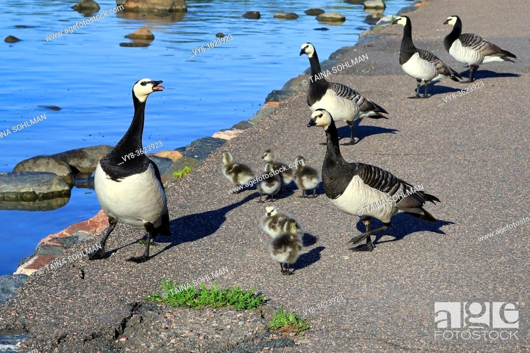 Stock Photo: Adult Barnacle geese, Branta leucopsis, leading young fuzzy goslings along path to jump into the sea in early summer. Helsinki, Finland.