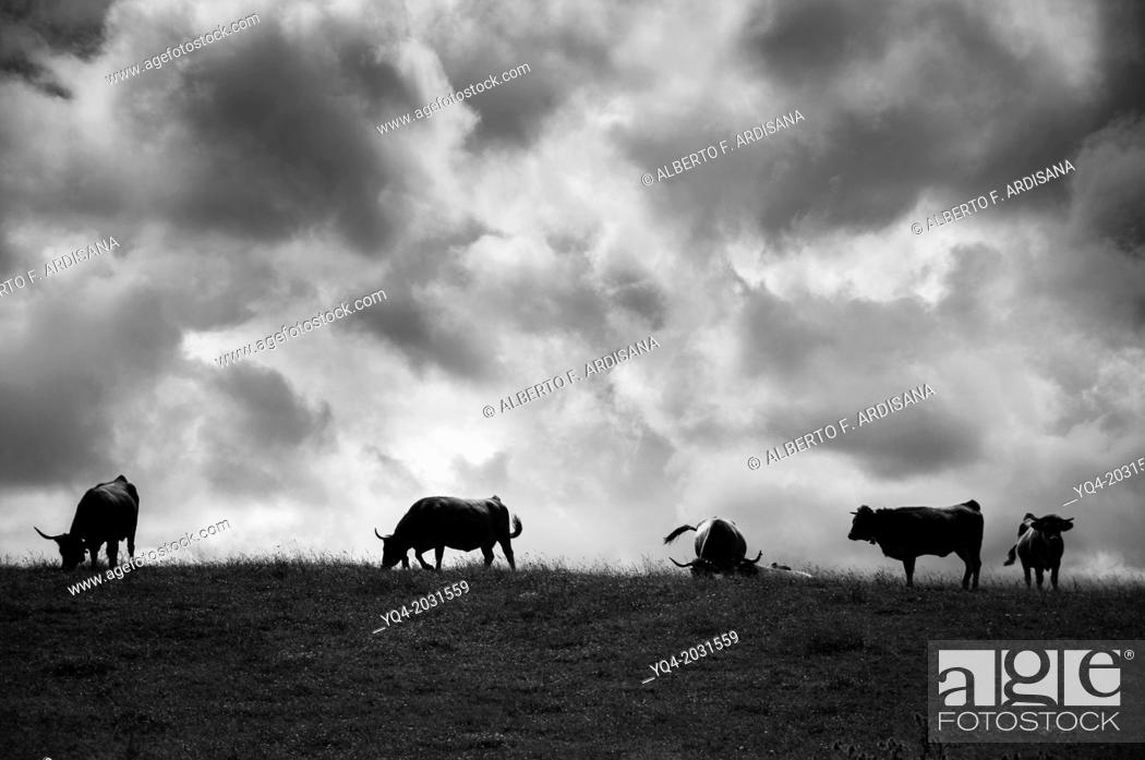 Stock Photo: Cows grazing along the coast of Llanes. Asturias. Spain.