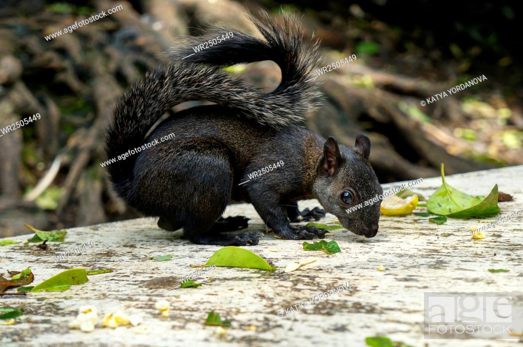 Stock Photo: Black squirrel.
