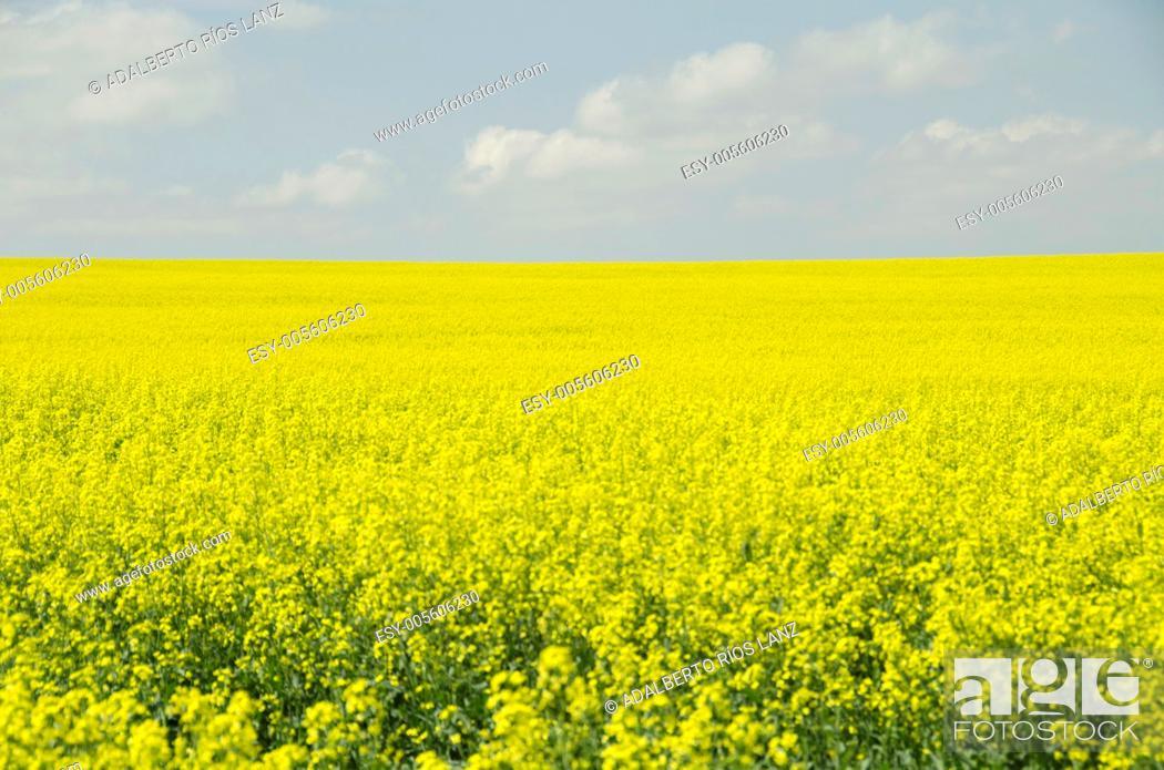 Stock Photo: Canola Plants Field.