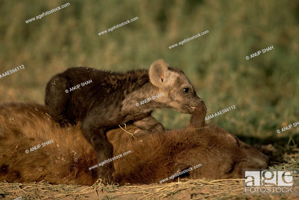 Stock Photo: Spotted Hyaena pup playing with sleeping adult (Crocuta crocuta) Serengeti National Park, Tanzania.