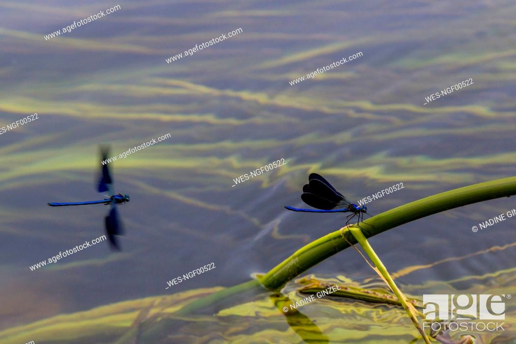 Stock Photo: Croatia, Blue damselfly perching on plant stem sticking out of water.