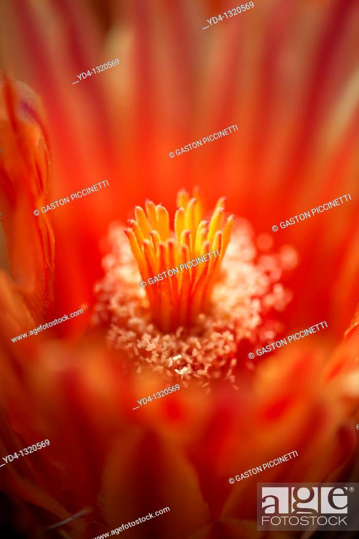 Stock Photo: Ferocactus wislizeri flowers, Sonora desert, Tucson, Arizona, USA.