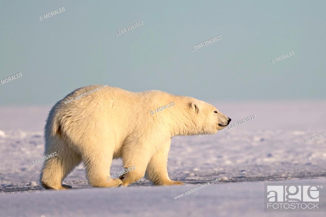 Imagen: United States , Alaska , Arctic National Wildlife Refuge , Kaktovik , Polar Bear( Ursus maritimus ) , 2 and 10 months years old cub along a barrier island.