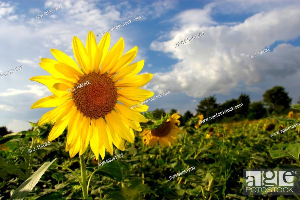 Stock Photo: common sunflower (Helianthus annuus), sunflower field, Germany, NRW.