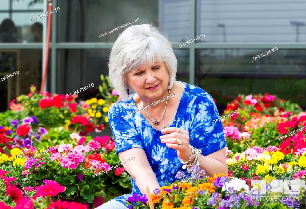 Stock Photo: Mature woman shopping for outdoor plants in a garden centre; St. Albert, Alberta, Canada.