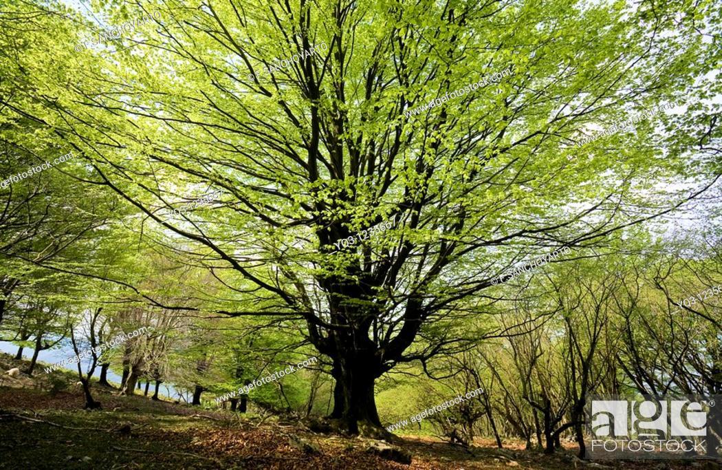 Stock Photo: Beech forest in spring. Monte Cerredo, Castro Urdiales, Cantabria, Spain.