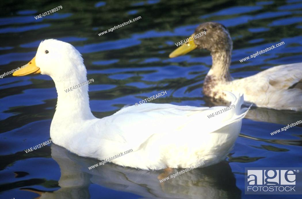Stock Photo: Two ducks on a pond.
