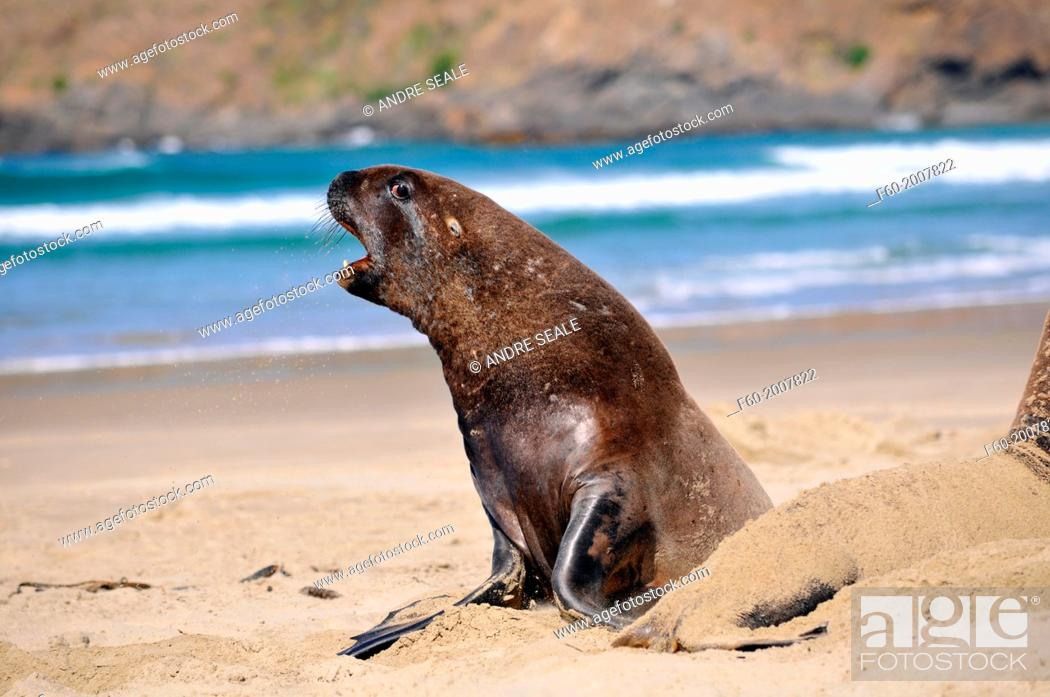 Stock Photo: Endemic New Zealand or Hooker's sea lion, Phocarctos hookeri, one of the rarest species of sea lions in the world, interacting, Catlins coast, South Island.