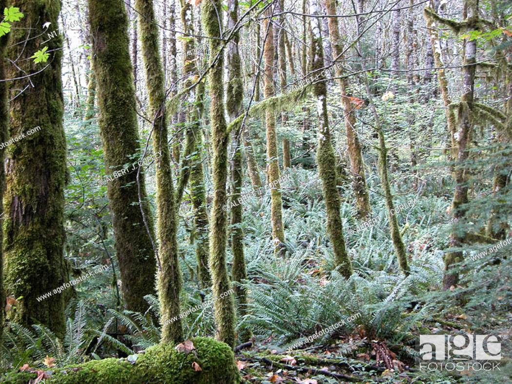 Stock Photo: Rainforest. Oregon, USA.