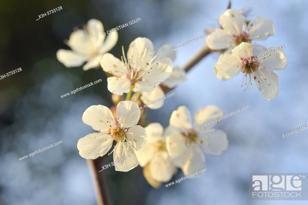 Stock Photo: Flowering blackthorn branch, Eure-et-Loir department, Centre-Val-de-Loire region, France, Europe.