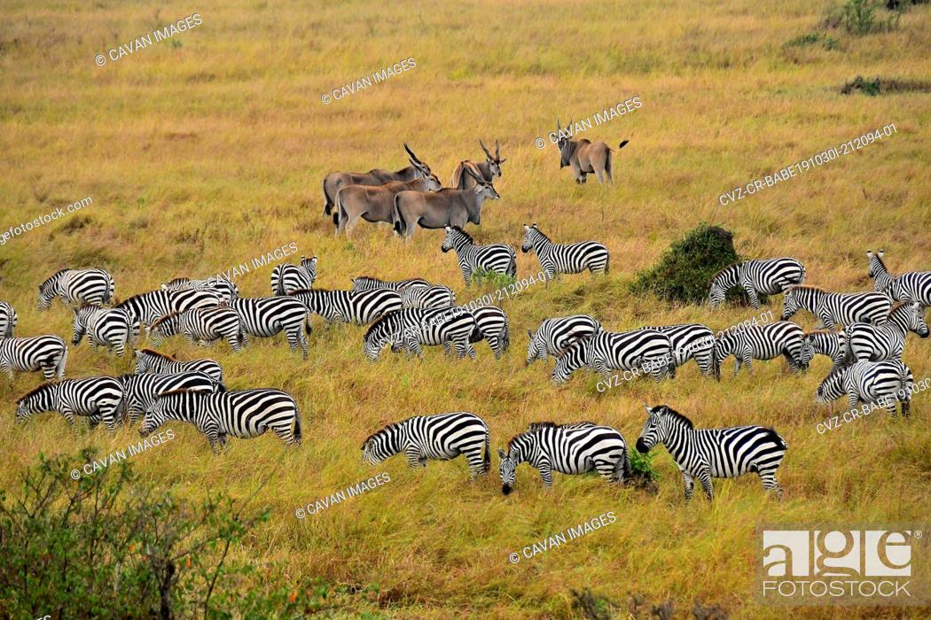Stock Photo: Zebras and antelope on the savannah.