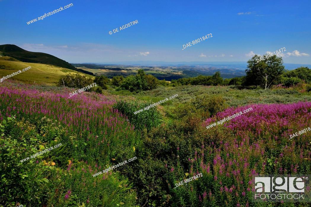 Stock Photo: Flower-filled meadow near Besse-et-Saint-Anastaise, Auvergne volcanoes region, Auvergne-Rhone-Alpes, France.