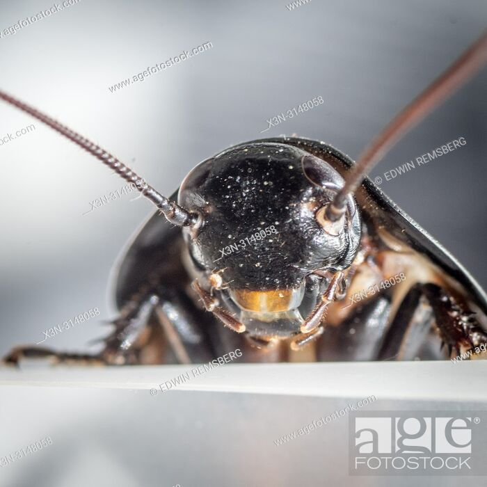 Stock Photo: Madagascar hissing cockroach (Gromphadorhina portentosa).