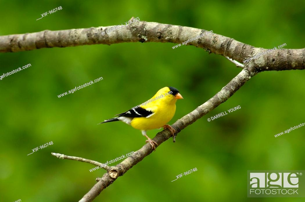 Stock Photo: American Goldfinch male (Carduelis tristis) sitting on a Cherry tree branch in the Springtime.