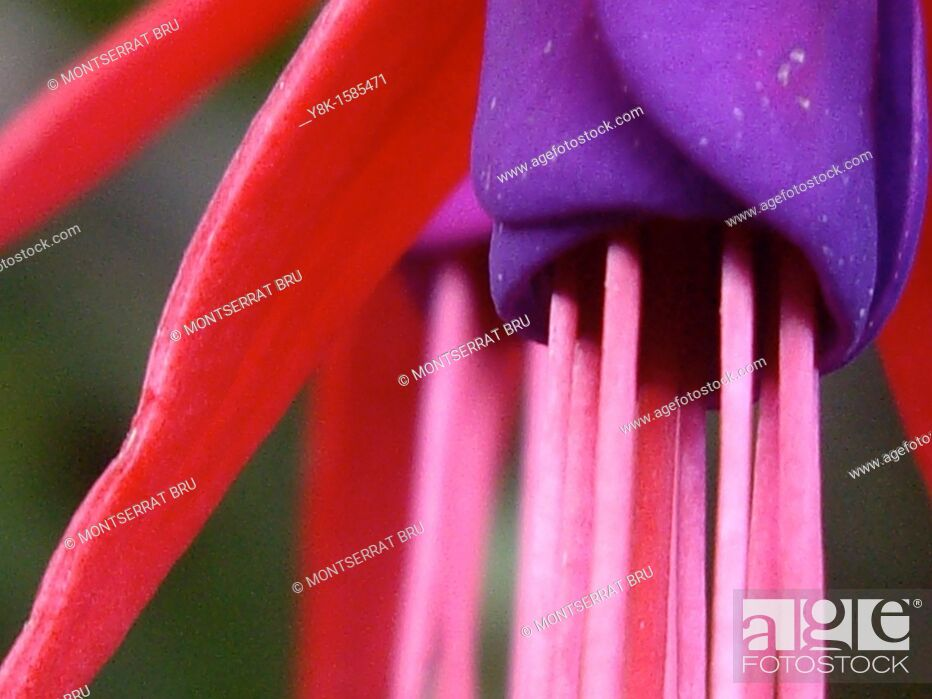 Stock Photo: Fuchsia flower.