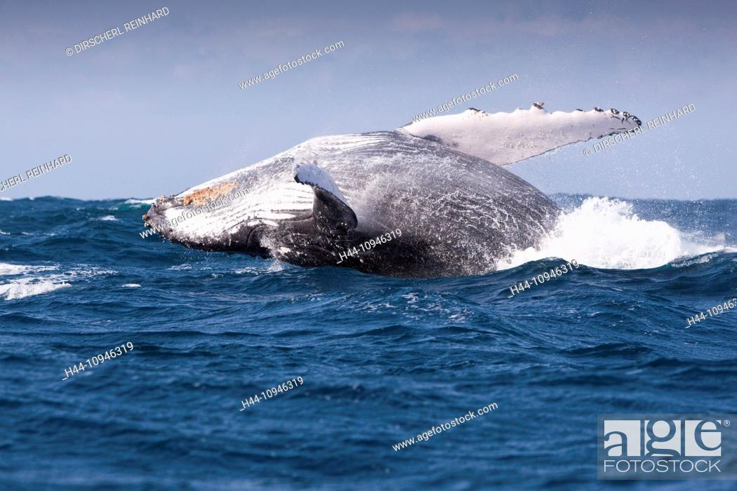 Imagen: Breaching Humpback Whale, Megaptera novaeangliae, Indian Ocean, Wild Coast, South Africa, Humpback Whale, Whale, Whales, Balaenopteridae, Mysticeti, Cetacea.