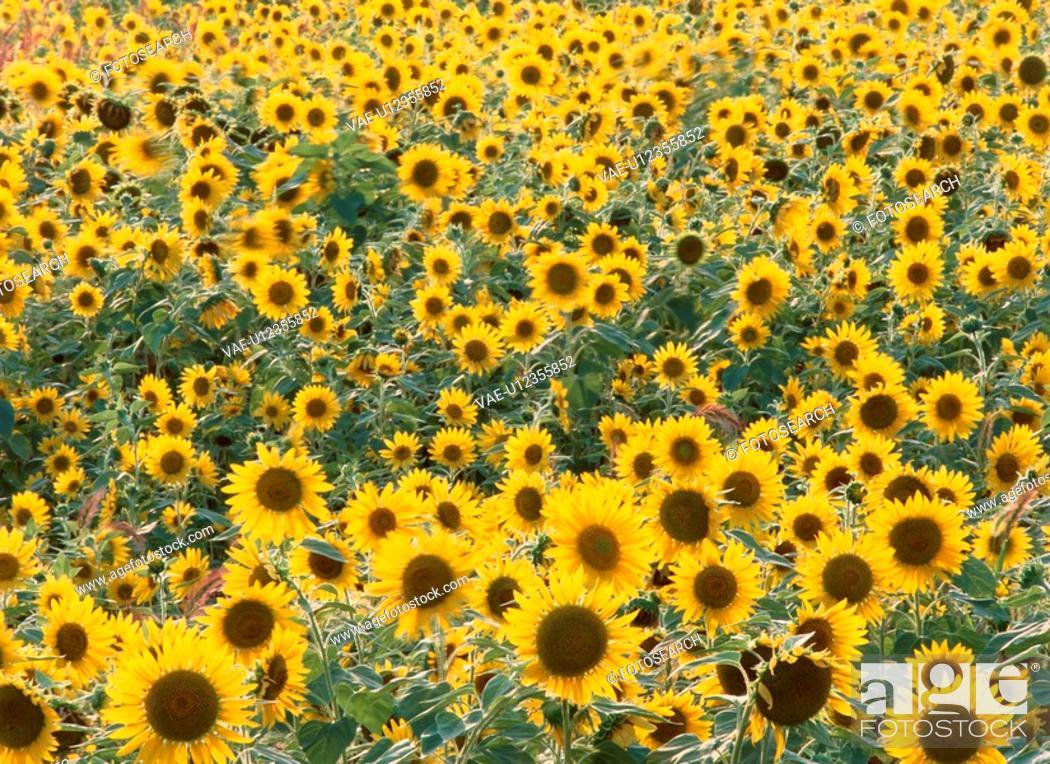 Stock Photo: Field Of Sunflowers.