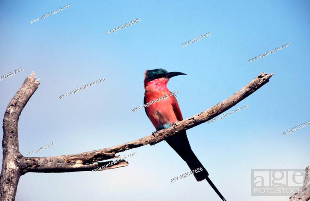 Stock Photo: Carmine bee-eater (Merops nubicoides). Linyanti Swamp. Botswana.