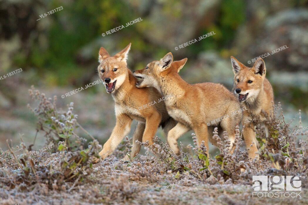 Stock Photo: Ethiopian wolf pups playing.