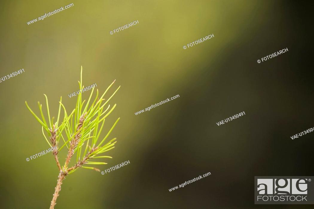 Stock Photo: Branch, Coniferous Tree, Day, Evergreen Tree.