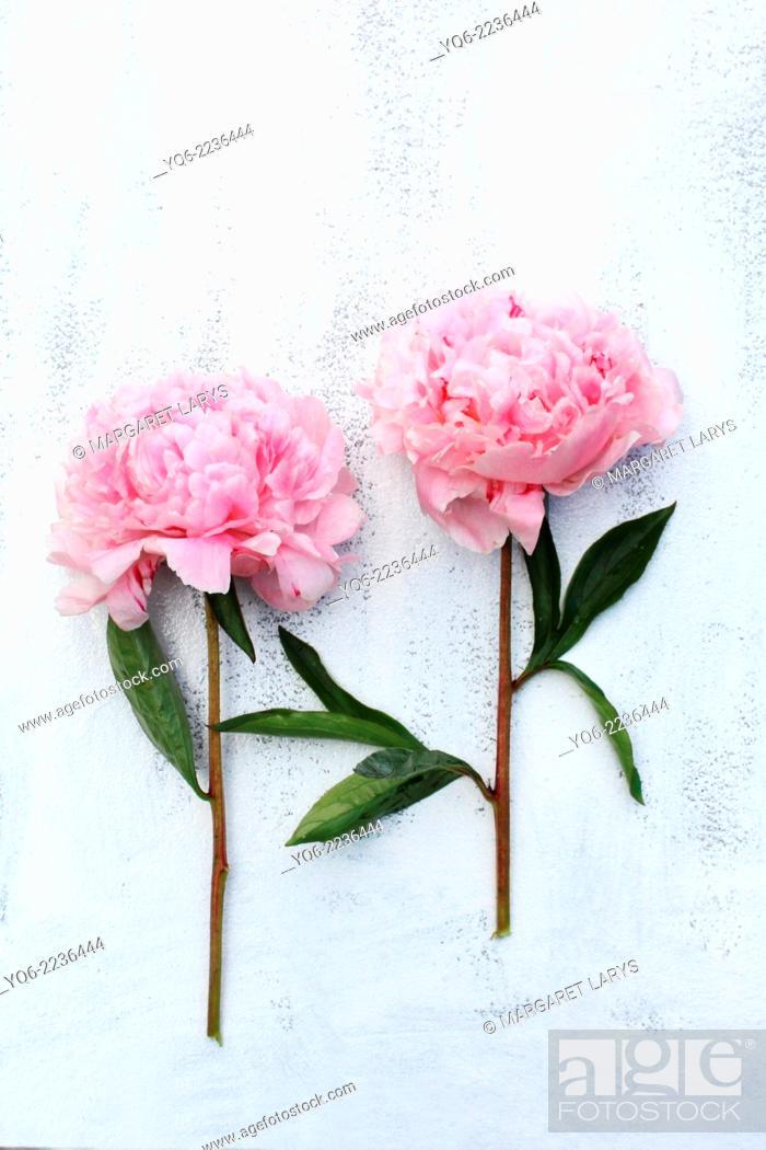 Stock Photo: Beautiful pink peonies on white background, still life.