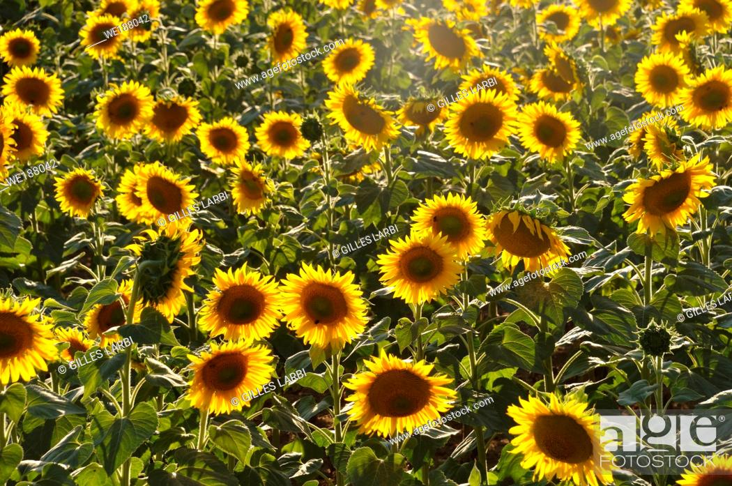 Stock Photo: sun flower field.