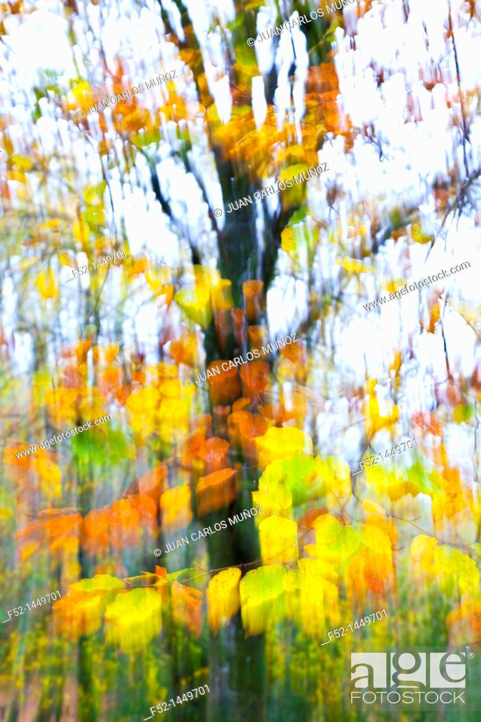 Stock Photo: European Beech or Common Beech forest, Ucieda forest, Saja-Besaya Natural Park, Cantabria, Spain, Europe.