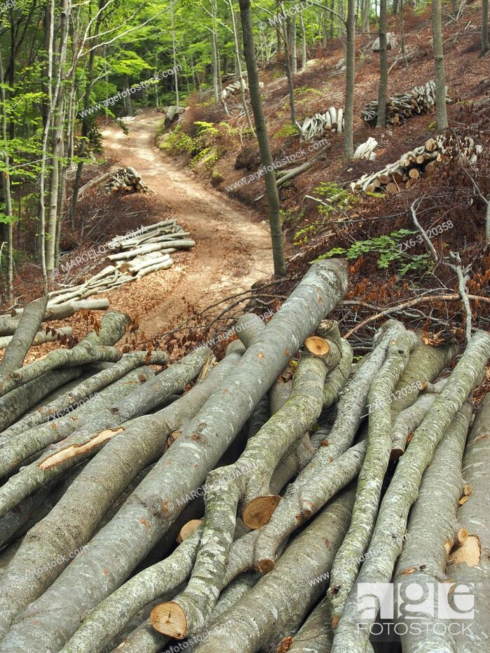 Stock Photo: Selective logging at beech forest (Fagus sylvatica). Montseny Natural Park. Barcelona province, Catalonia, Spain.