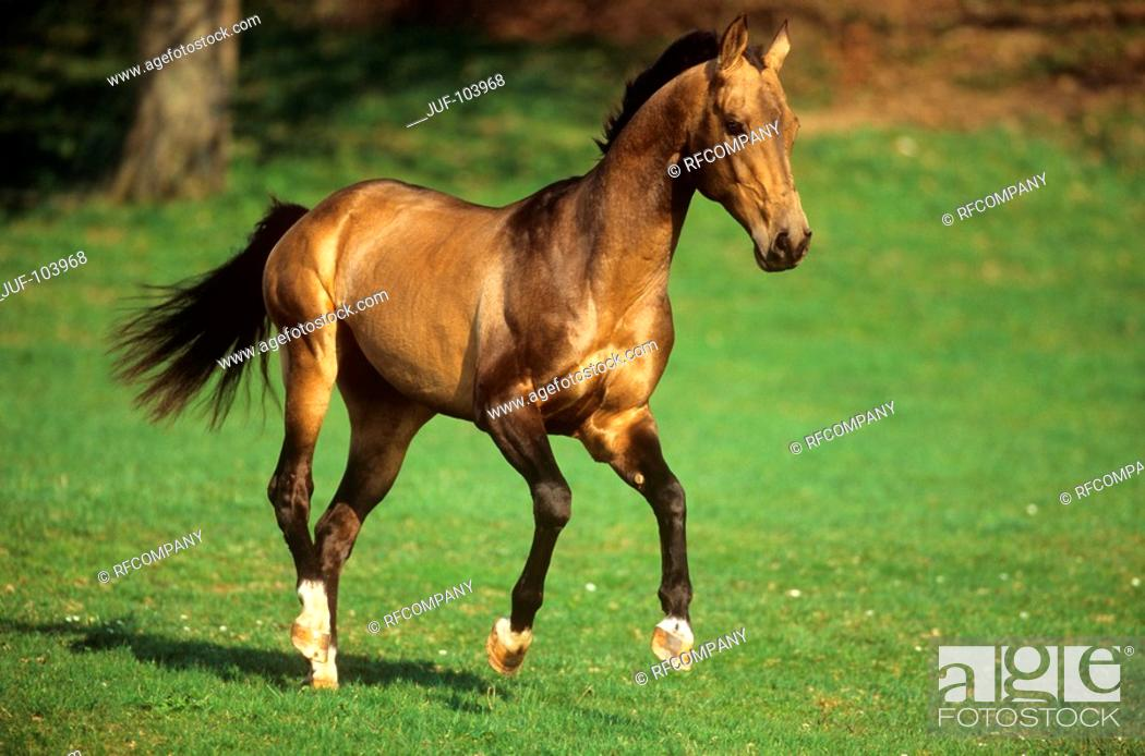 Stock Photo: young Akhal-Teke on meadow.