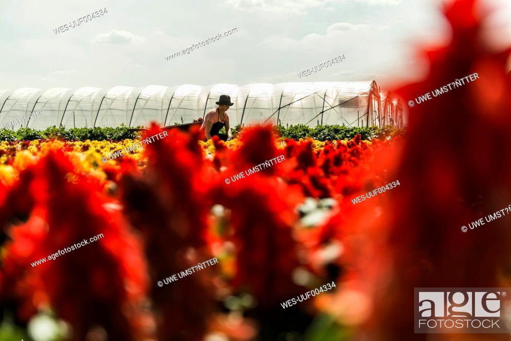 Stock Photo: Woman working on field of flowers at a nursery.