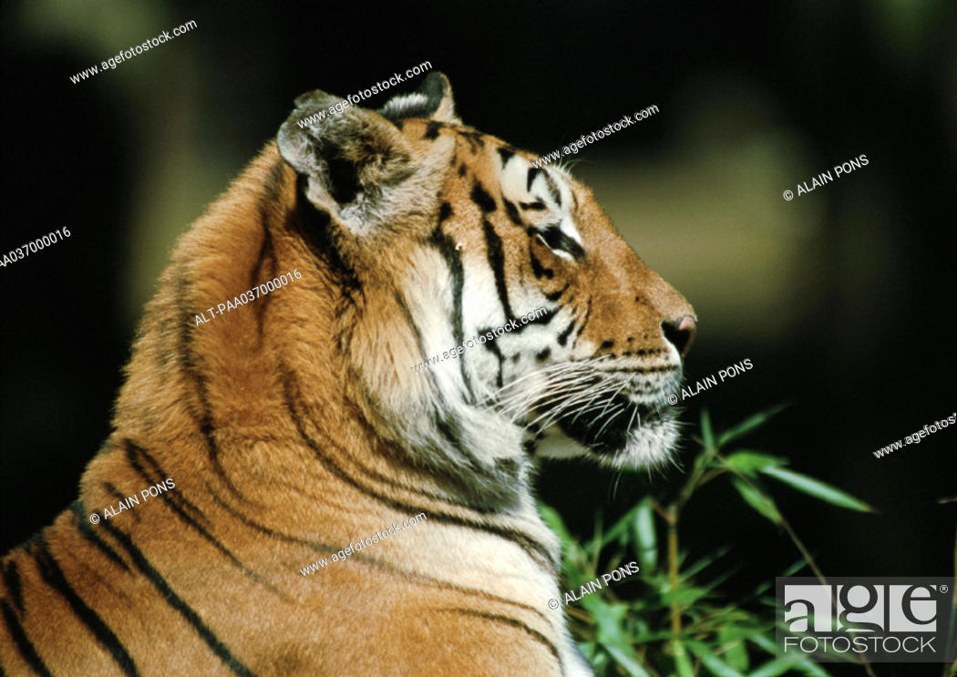Stock Photo: India, tiger, side view.