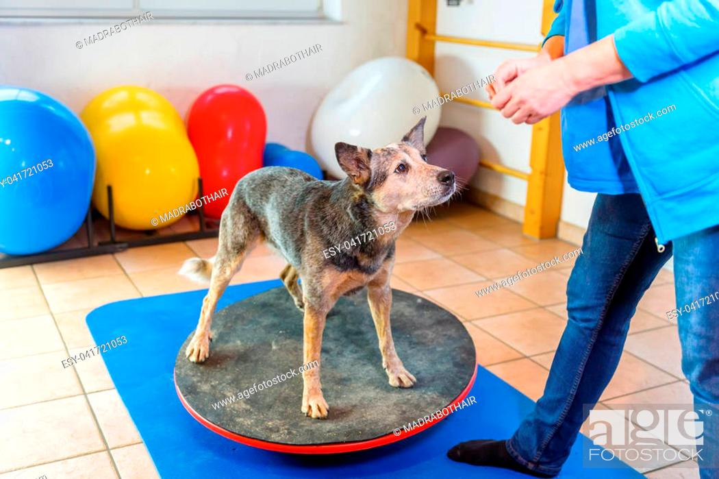 Stock Photo: woman works with an Australian Cattledog on training devices in a physiotherapy office.