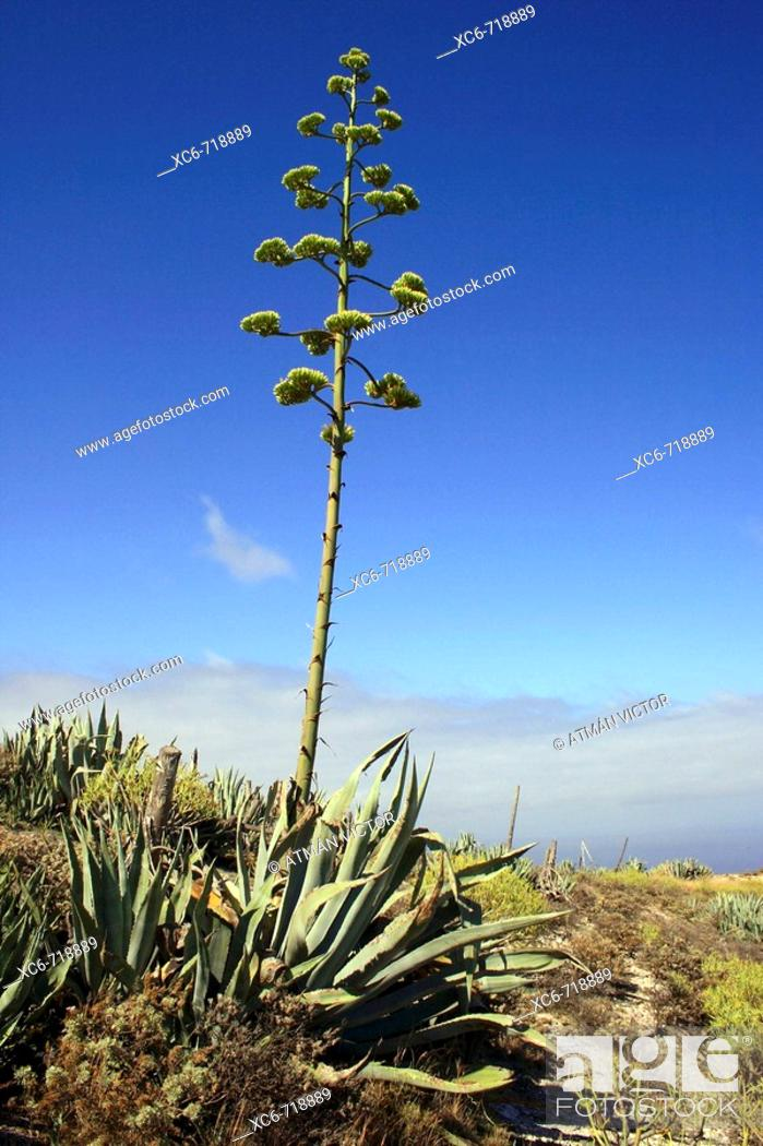 Stock Photo: Agave americana in foreground, Tenerife. Canary Islands, Spain.