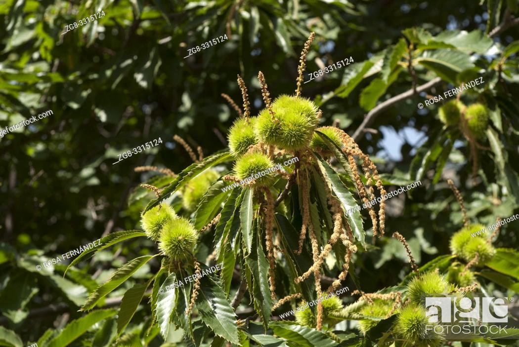 Photo de stock: Chestnut trees, Castanea sativa, Sierra Nevada Mountains, Natural Park, province of Granada, Andalucia, Spain.