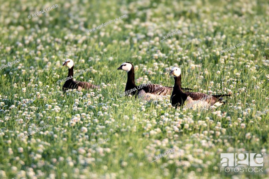 Stock Photo: Barnacle Goose Branta leucopsis, three resting on meadow, Texel, Holland.