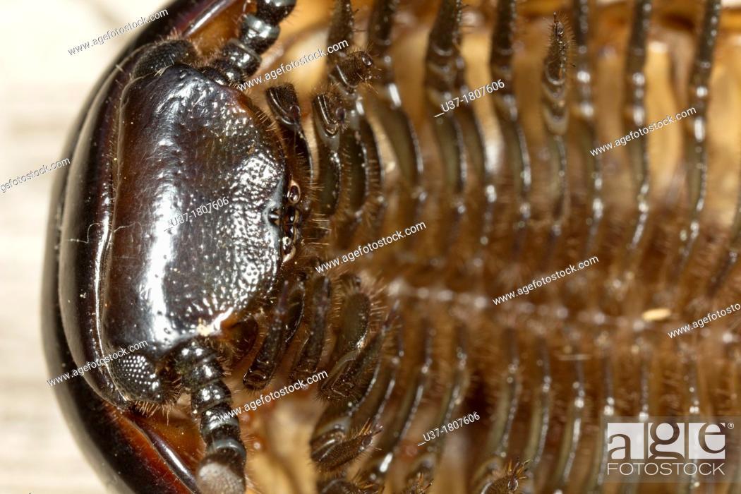Stock Photo: Millipede. Image taken at Kampung Satau, Singai, Sarawak, Malaysia.