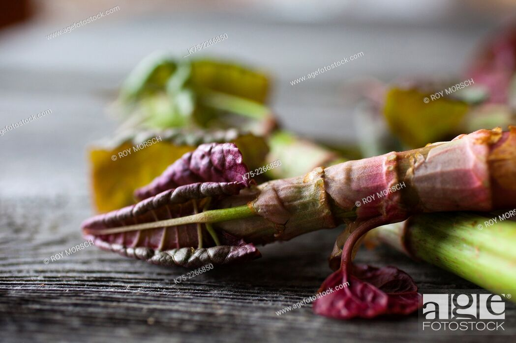 Stock Photo: Japanese Bamboo new shoots wild edible, specialty food.