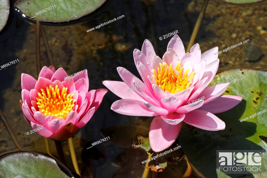 Stock Photo: Nymphaea hybrid, Water lily, aquatic plant.