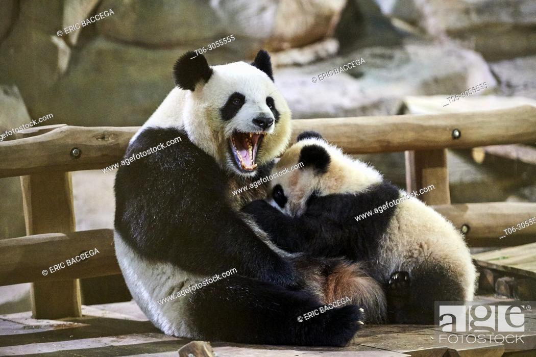 Stock Photo: Giant panda cub Yuan Meng suckling its mother Huan Huan (Ailuropoda melanoleuca). Yuan Meng, first giant panda ever born in France, is now 8 months old.
