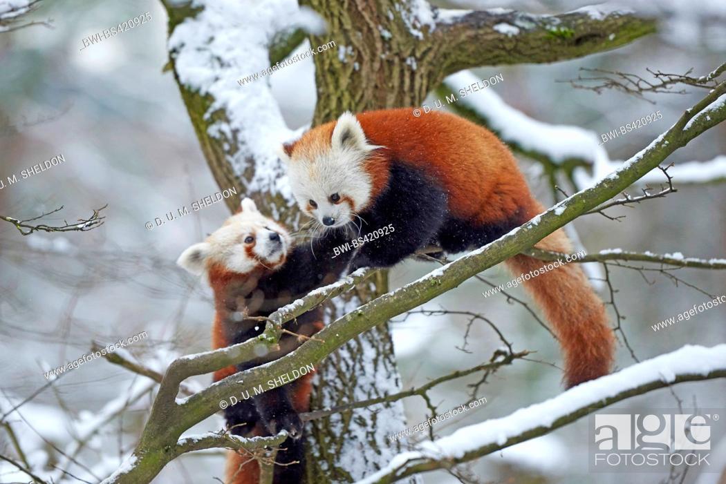 Stock Photo: lesser panda, red panda (Ailurus fulgens), couple on a tree in winter.