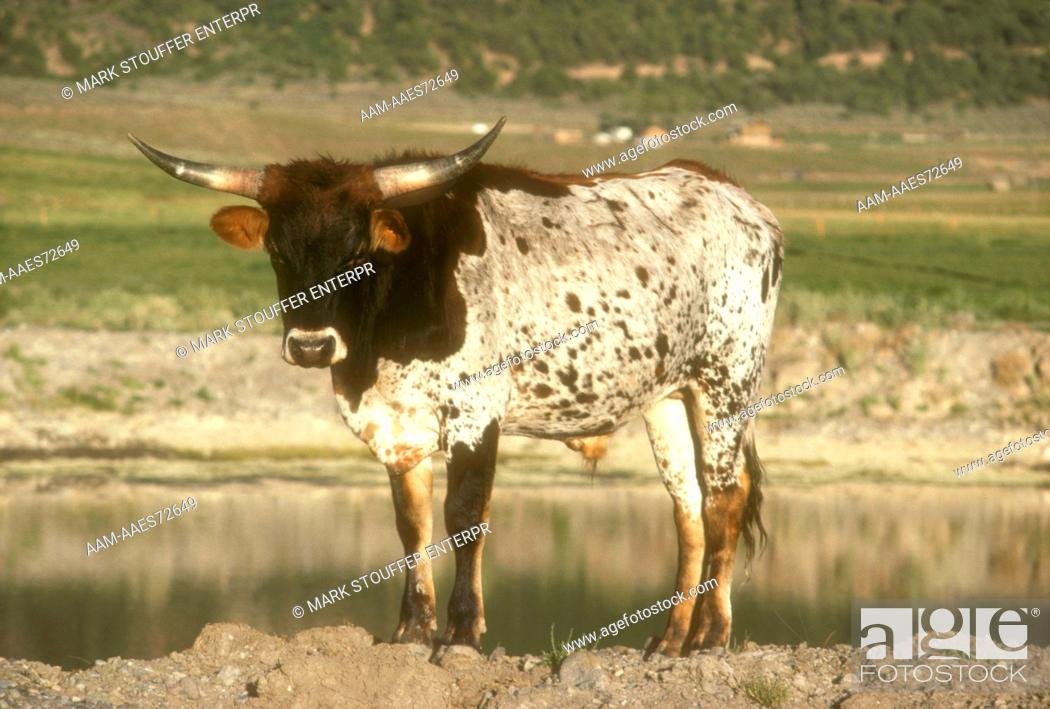 Beefmaster Domestic Cattle X Breed Of Short Horned Hereford