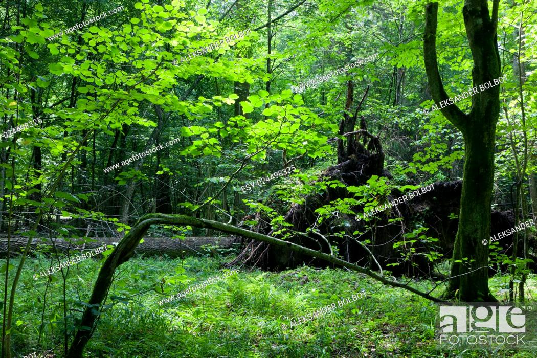 Stock Photo: Shady deciduous stand in summer noon with broken tree, Bialowieza Forest, Poland, Europe.
