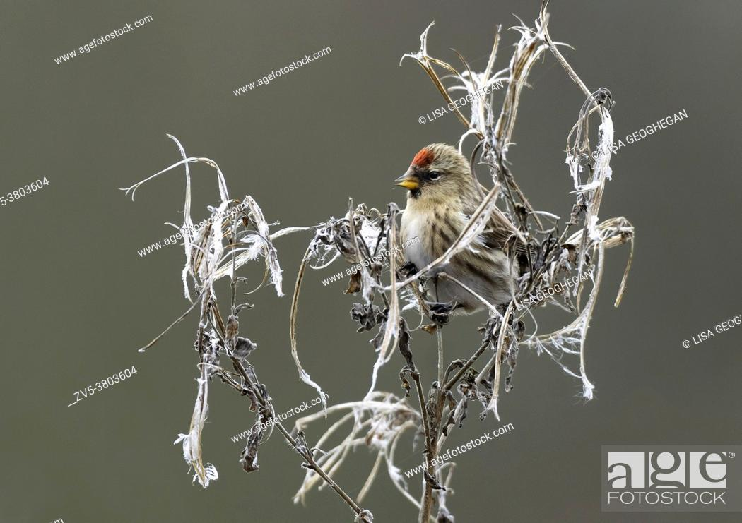 Imagen: Common Redpoll- Acanthis flammea feeding on seeds from Great willowherb-Epilobium hirsutum.