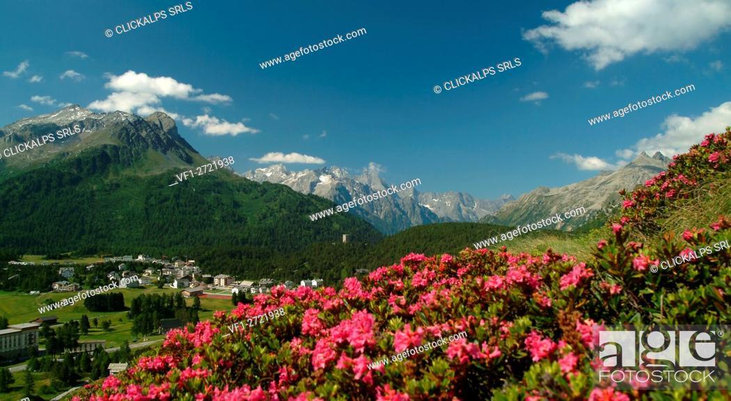 Stock Photo: Blooming of Rhododendrons, Maloja Pass. Canton of Graubünden Switzerland, Europe.