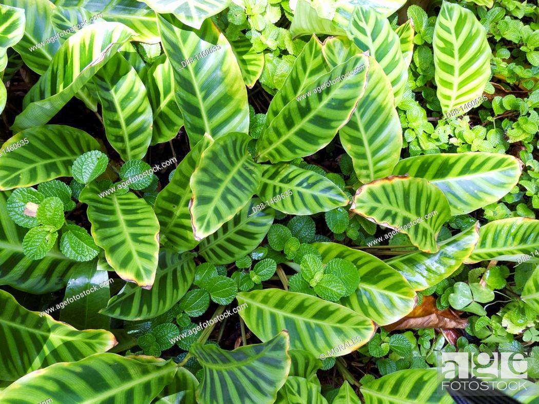 Stock Photo: Hawaï , Big Island , Hamakua coast , Tropical botanical garden , Zebra plant  Calathea zebrina  , family : Marantaceae.