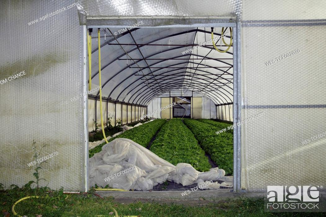 Stock Photo: Germany, Upper Bavaria, Weidenkam, View of greenhouse with endive.