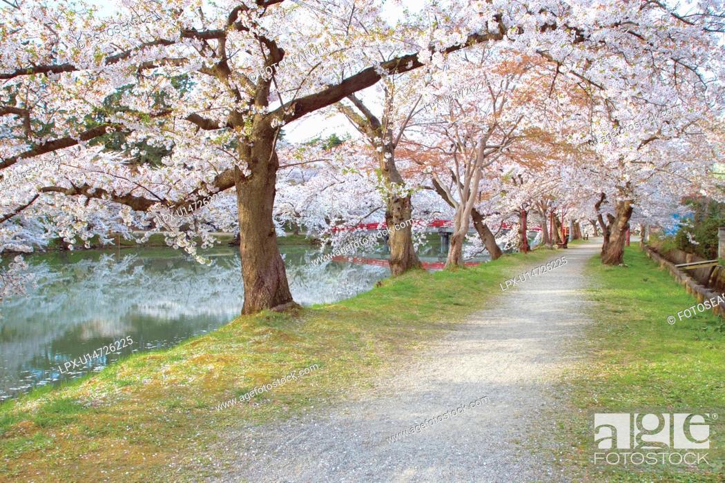 Stock Photo: Cherry trees along a river, Hikosaki, Aomori Prefecture, Japan.